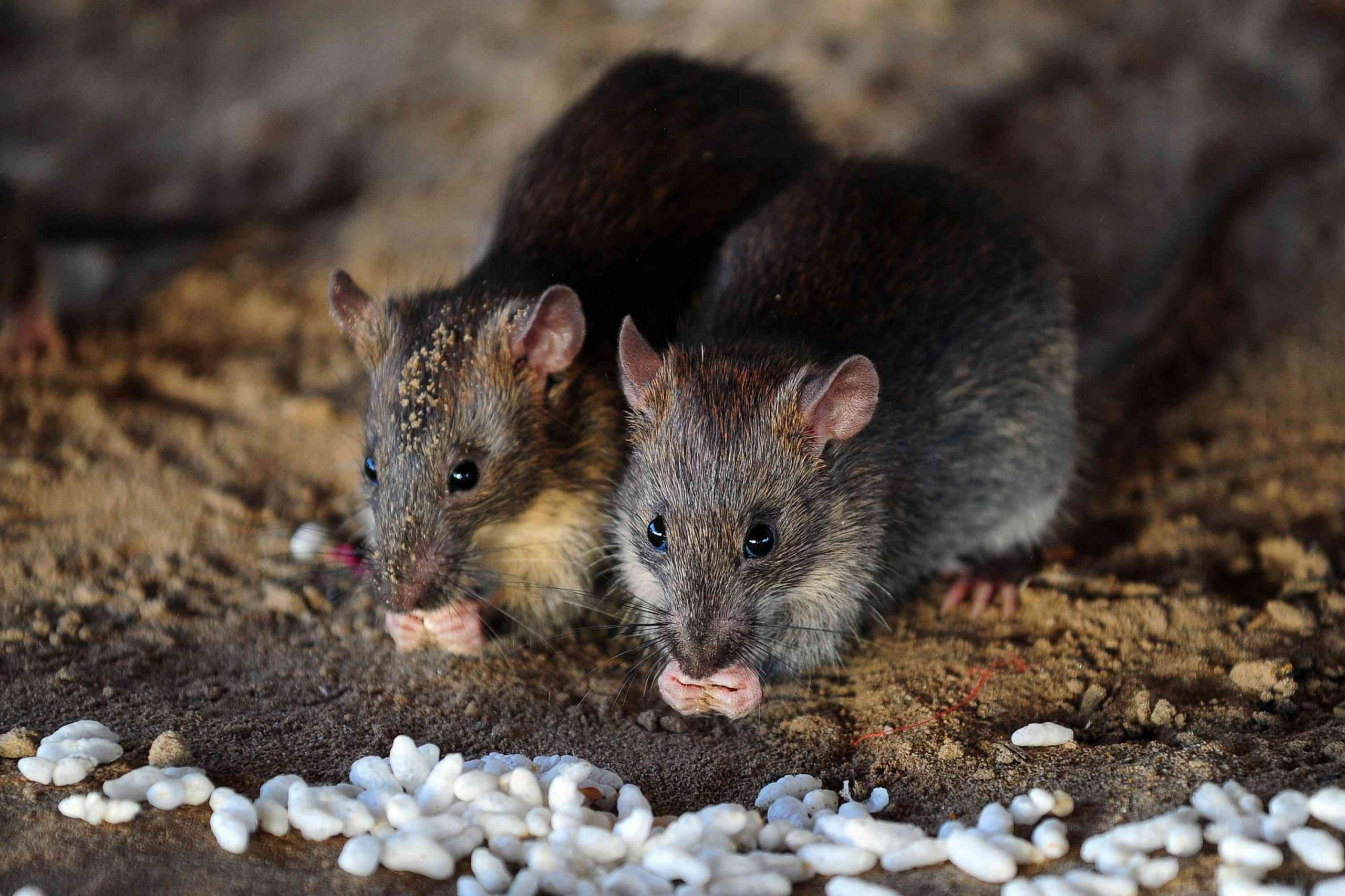 'They're creeping!' Buffalo pest control owner worries rats going into sewers